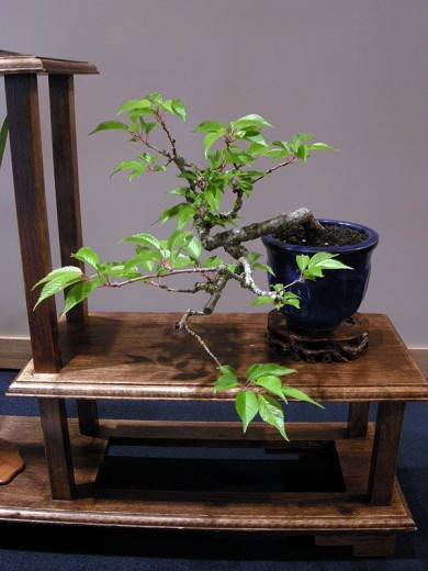 Flowering Cherry Bonsai