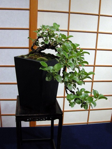 Dwarf Creeping Willow Bonsai