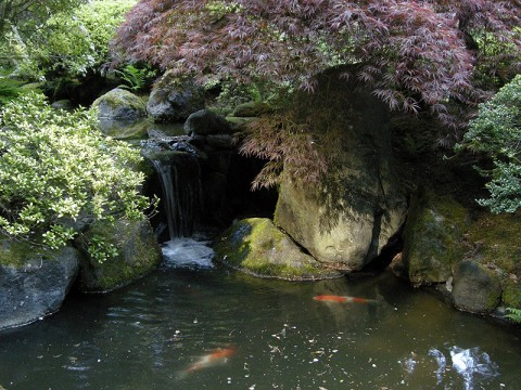 Pond with Japanese Maple and Koi